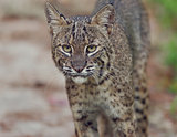Florida Bobcat in Wild