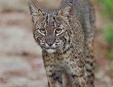 Florida Bobcat in Wild
