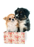 puppy australian shepherd and chihuahua
