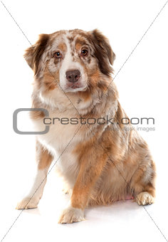 adult australian shepherd