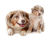 puppy and adult australian shepherd