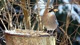 bird jay (garrulus glandarius)