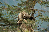 Bears on tree