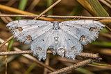 Lace border (Scopula ornate)