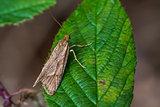 Moth (Diurnea lipsiella)