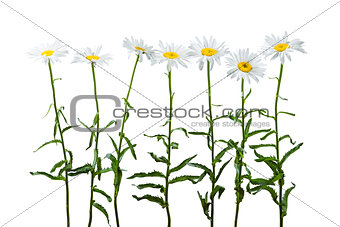 Chamomile isolated