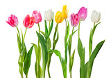 Tulip flowers isolated