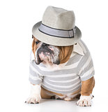 male bulldog