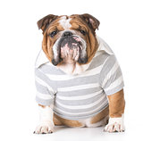 male bulldog
