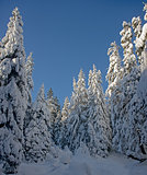 white fir-tree against blue sky background