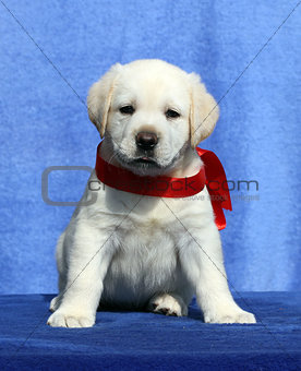 a nice little labrador puppy on a blue background