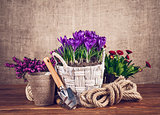 Spring flowers in basket with garden tools on wooden board