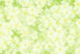 Snow-in-Summer Cerastium tomentosum