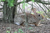 scared cottontail