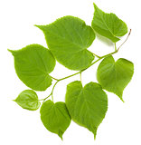 Green tilia leafs on white background