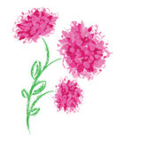Three peonies on white background.