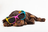 Cute Cocker Spaniel Puppy Dog Wearing Sunglasses