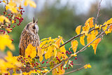 Long Eared Owl Sitting in Tree