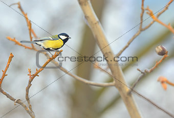 Great Tit (Parus major) resting