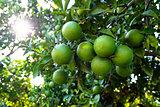 Orange tree with unripe fresh oranges. Selective focus