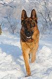 German Shepherd dog on winter background