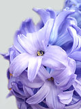 Spring flowers. Light violet hyacinth against