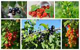 Collage natural berries on branch in garden