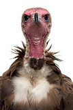 Close-up of a Hooded vulture - Necrosyrtes monachus (11 years ol