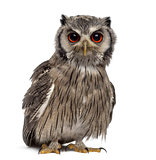 Northern white-faced owl - Ptilopsis leucotis (1 year old) in fr