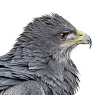 Close-up of a Chilean blue eagle - Geranoaetus melanoleucus (17