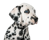 Close-up of a Dalmatian puppy with heterochromia in front of a w