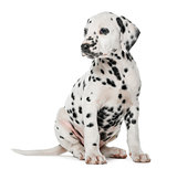 Dalmatian puppy sitting in front of a white background
