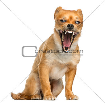 Crossbreed dog yawning in front of a white background