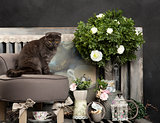 Scottish fold in front of a rustic background