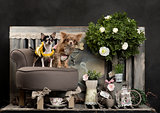Chihuahuas in front of a rustic background