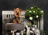 Yorkshire terrier in front of a rustic background