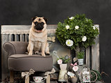 Pug in front of a rustic background