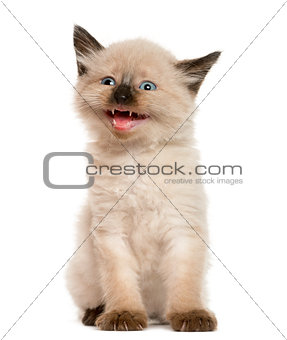 Kitten meowing in front of white background