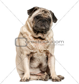 Old Pug sitting in front of white background
