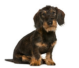 Dachshund sitting in front of white background