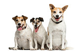 Three Jack Russell Terrier sitting in front of a white backgroun