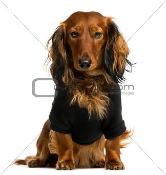 Dachshund dressed and sitting in front of a white background