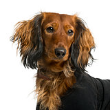 Close-up of a Dachshund dressed in front of a white background