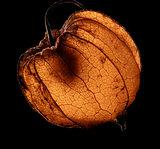 dry chinese lantern