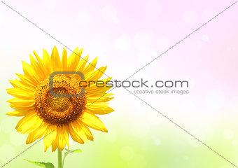 Bright yellow sunflower on sunny background