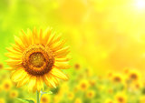 Bright yellow sunflower on green background