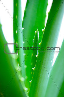 Close up Image of Green Aloe Vera Leafs on White Background