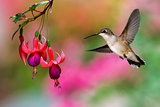 Hummingbird feeding on Hardy Fuchsia Plant