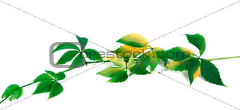 Green yellowed branch of grapes leaves