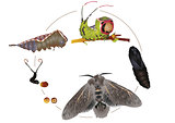 Life cycle of puss moth